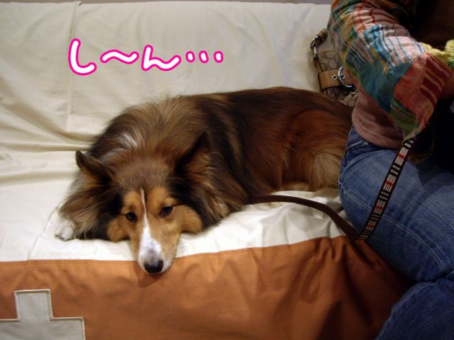 国際長毛犬種学会_c0062832_15432665.jpg