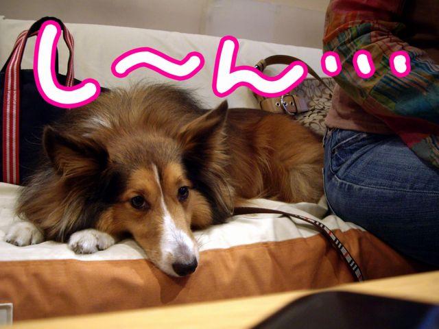 国際長毛犬種学会_c0062832_15435164.jpg