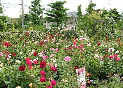 2006.6.7薔薇と紫陽花と愛ちゃん_f0060461_194811.jpg