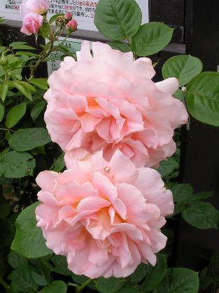 2006.6.7薔薇と紫陽花と愛ちゃん_f0060461_19504849.jpg