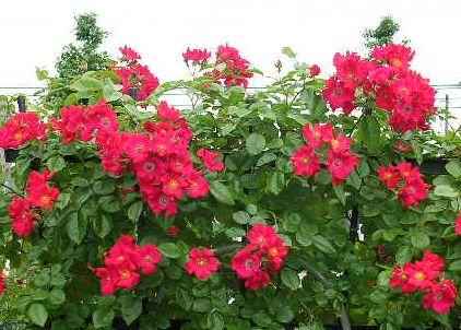 2006.6.7薔薇と紫陽花と愛ちゃん_f0060461_19541070.jpg