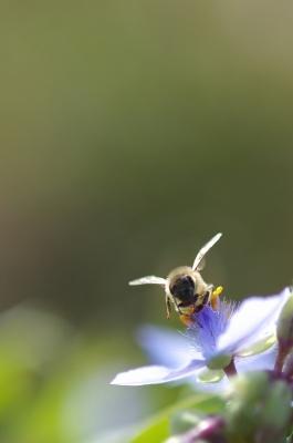 ミツバチ・2_f0018464_220354.jpg