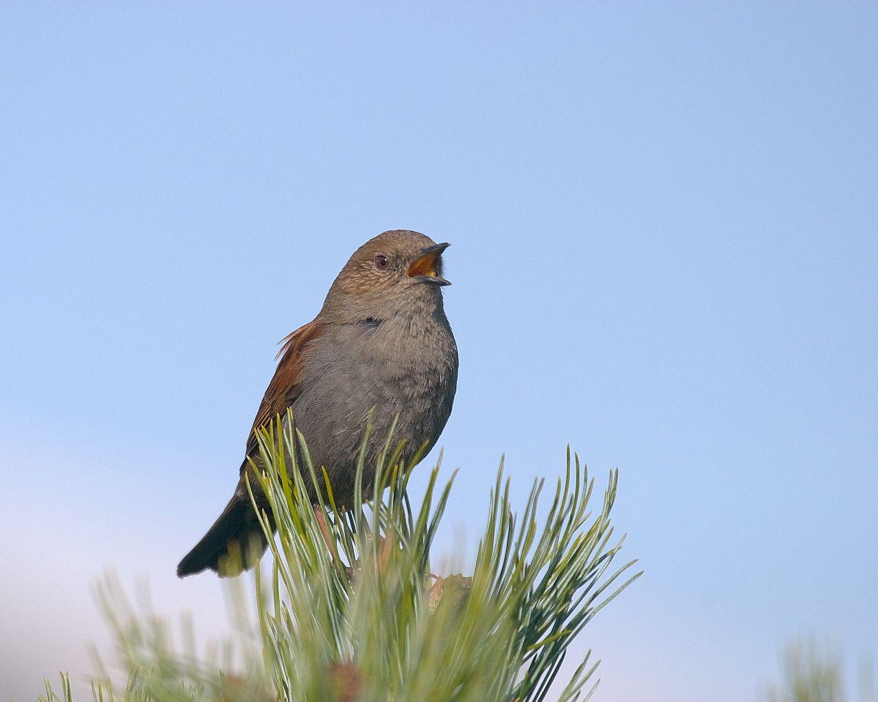 高山の鳥第三弾:カヤクグリの囀り(野鳥の壁紙)_f0105570_17295111.jpg