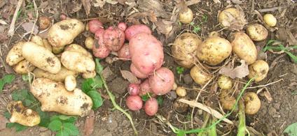 ジャガイモ、タマネギ、ピーマンを初収穫!(2006・6・8)_c0014967_100122.jpg