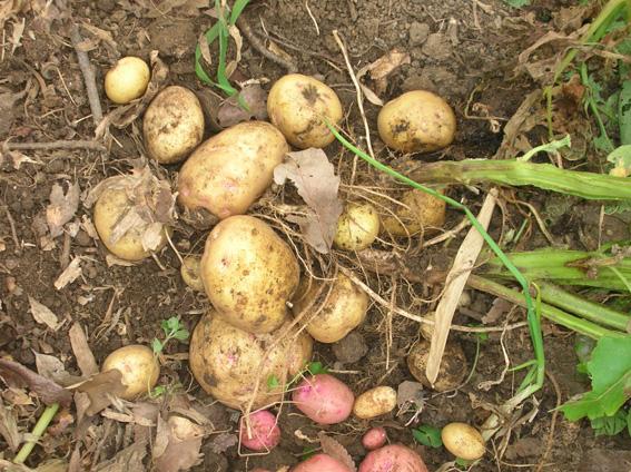 ジャガイモ、タマネギ、ピーマンを初収穫!(2006・6・8)_c0014967_1003344.jpg