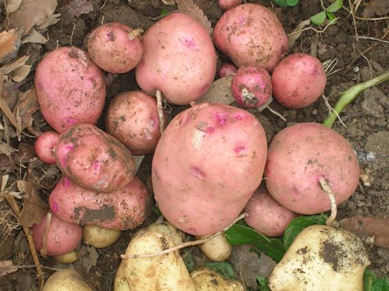 ジャガイモ、タマネギ、ピーマンを初収穫!(2006・6・8)_c0014967_1005273.jpg