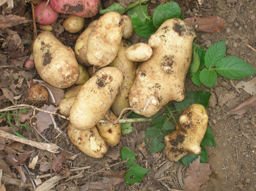 ジャガイモ、タマネギ、ピーマンを初収穫!(2006・6・8)_c0014967_101930.jpg