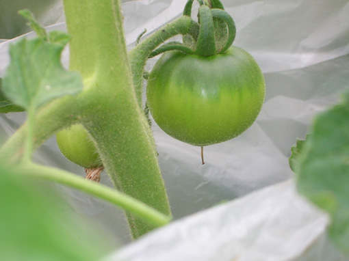 ジャガイモ、タマネギ、ピーマンを初収穫!(2006・6・8)_c0014967_9592161.jpg