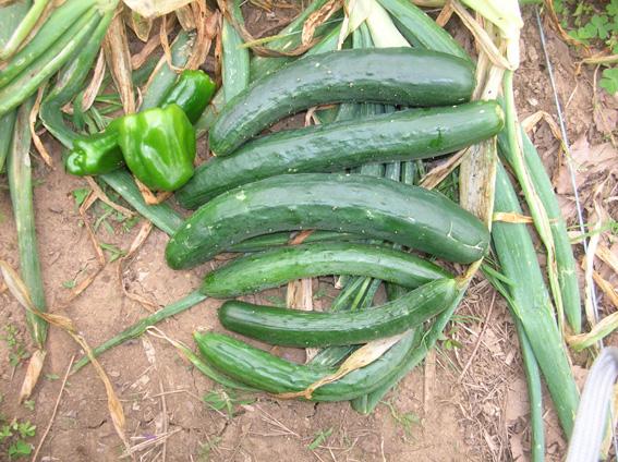 ジャガイモ、タマネギ、ピーマンを初収穫!(2006・6・8)_c0014967_9593811.jpg