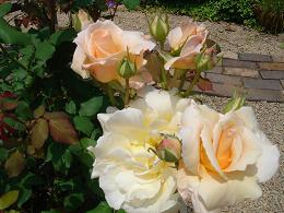 薔薇が咲きました!_e0086738_22164477.jpg