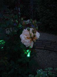 薔薇が咲きました!_e0086738_2221156.jpg