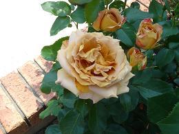 薔薇が咲きました!_e0086738_22235698.jpg