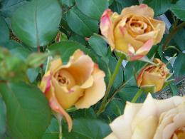 薔薇が咲きました!_e0086738_22241374.jpg