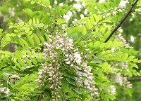 アカシアの花が咲いてた_f0019247_0332231.jpg