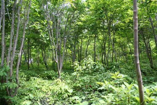 白神山地のブナの植林 1 :植林_e0054299_2115412.jpg