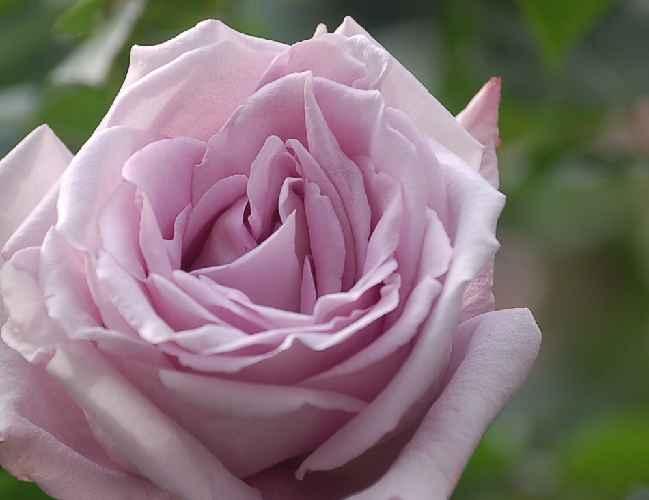 バラ「ブルームーン」_b0017645_025547.jpg