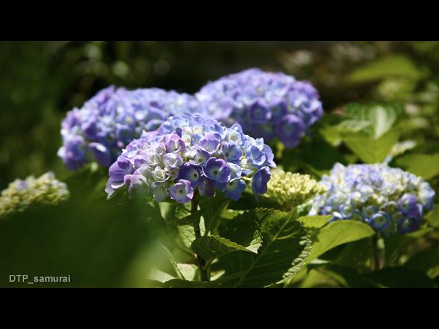 紫陽花_a0054755_1553669.jpg