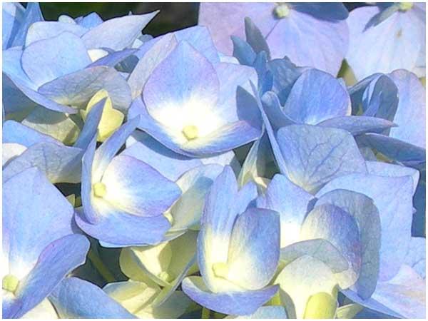 紫陽花:青