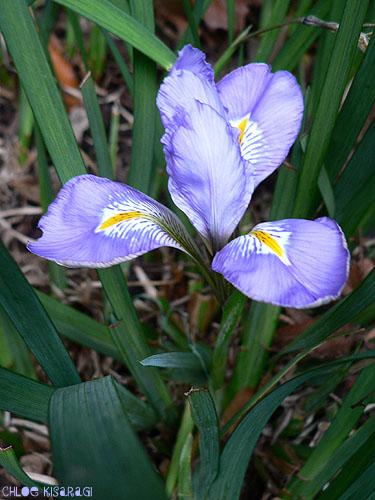 (花) 寒咲菖蒲(カンザキアヤメ)Iris unguicularis_b0015002_9274065.jpg