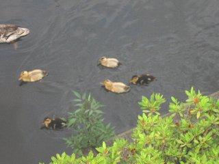 幼鴨恐々水飛 (幼いかも、恐る恐る水に飛び込む)_a0073540_12374347.jpg