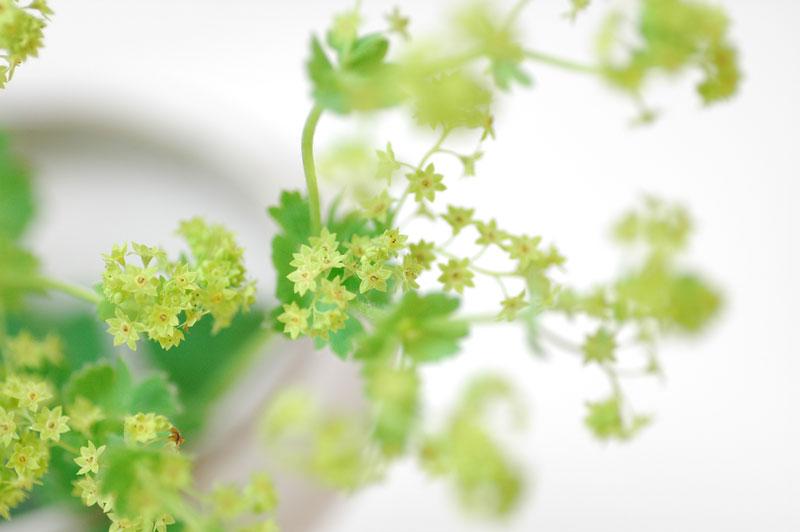 アルケミラモレス 緑 グリーン