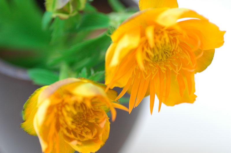 トロリウス オレンジ