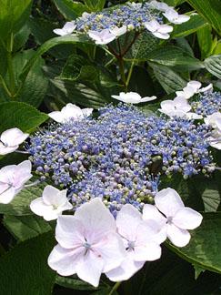 紫陽花の季節_e0015690_11574946.jpg