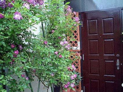 玄関前のつるバラ_f0019498_18561566.jpg