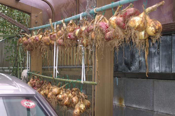 梅雨の中休みを狙ってジャガイモを全て収穫!(06・6・20)_c0014967_19481659.jpg
