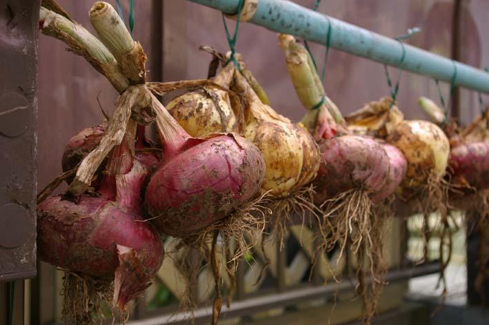 梅雨の中休みを狙ってジャガイモを全て収穫!(06・6・20)_c0014967_19543133.jpg