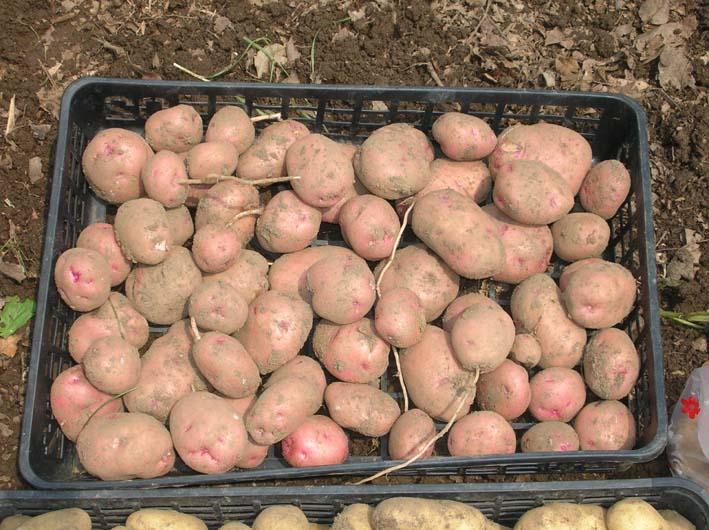 梅雨の中休みを狙ってジャガイモを全て収穫!(06・6・20)_c0014967_19562488.jpg