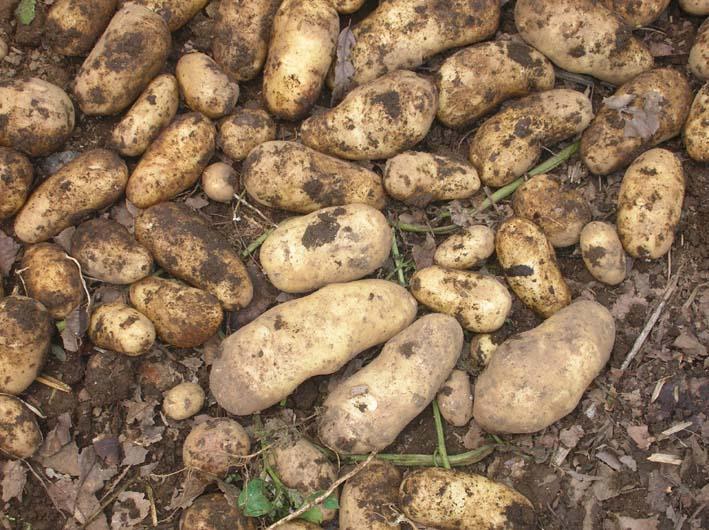 梅雨の中休みを狙ってジャガイモを全て収穫!(06・6・20)_c0014967_19564949.jpg