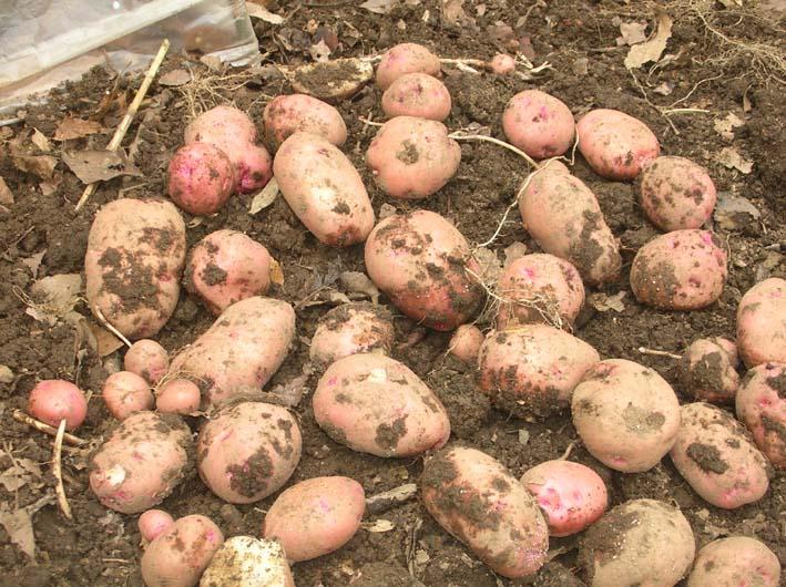 梅雨の中休みを狙ってジャガイモを全て収穫!(06・6・20)_c0014967_1956615.jpg