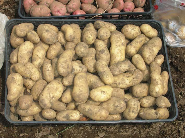 梅雨の中休みを狙ってジャガイモを全て収穫!(06・6・20)_c0014967_19573382.jpg