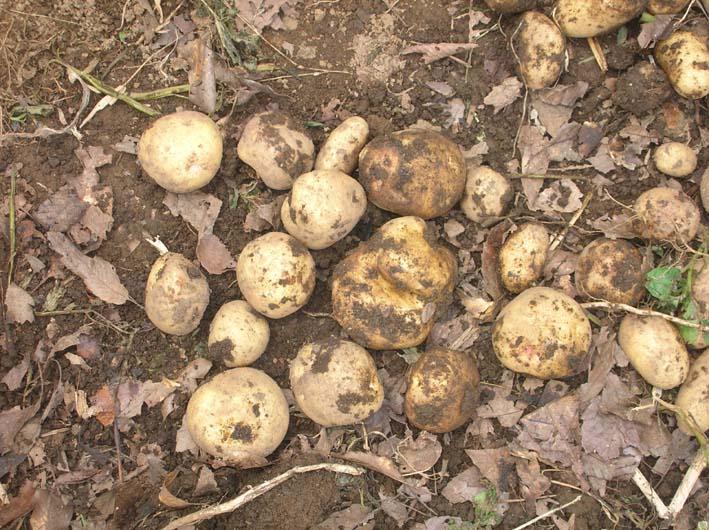 梅雨の中休みを狙ってジャガイモを全て収穫!(06・6・20)_c0014967_19575434.jpg