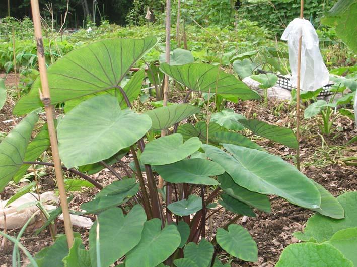 梅雨の中休みを狙ってジャガイモを全て収穫!(06・6・20)_c0014967_2011718.jpg