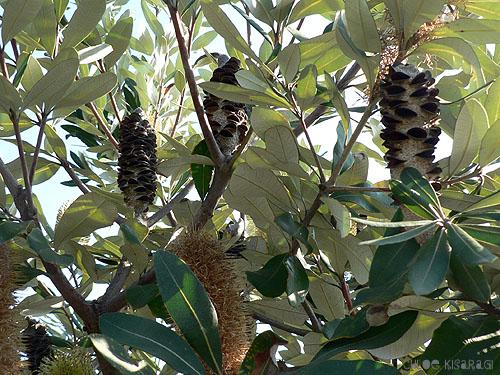 (花) バンクシア Coast Banksia_b0015002_23574796.jpg