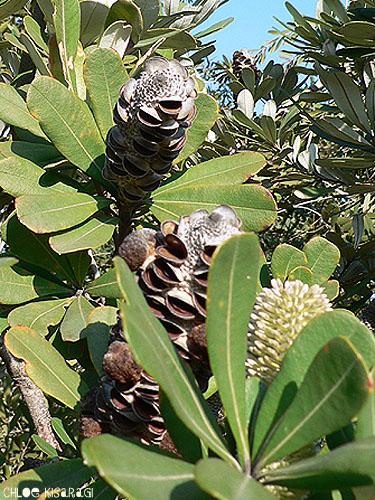 (花) バンクシア Coast Banksia_b0015002_042686.jpg