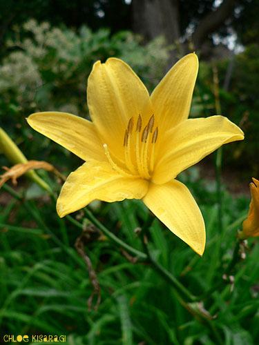 (花) ヘメロカリス Daylily_b0015002_1634015.jpg