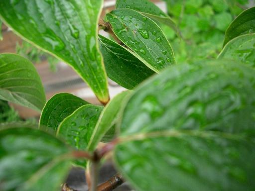 雨にぬれた葉っぱいっぱい_b0087994_22273671.jpg