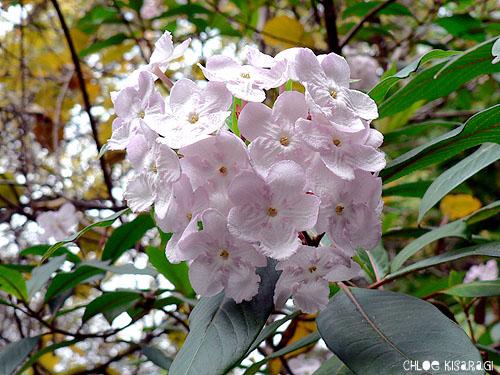 (花) ルクリア Luculia_b0015002_82268.jpg