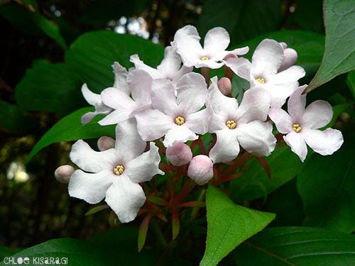 (花) ルクリア Luculia_b0015002_8372234.jpg