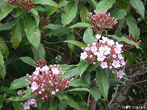 (花) ルクリア Luculia_b0015002_8402125.jpg