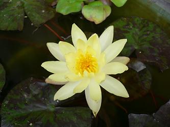 水に浮かぶ花_c0069048_658528.jpg