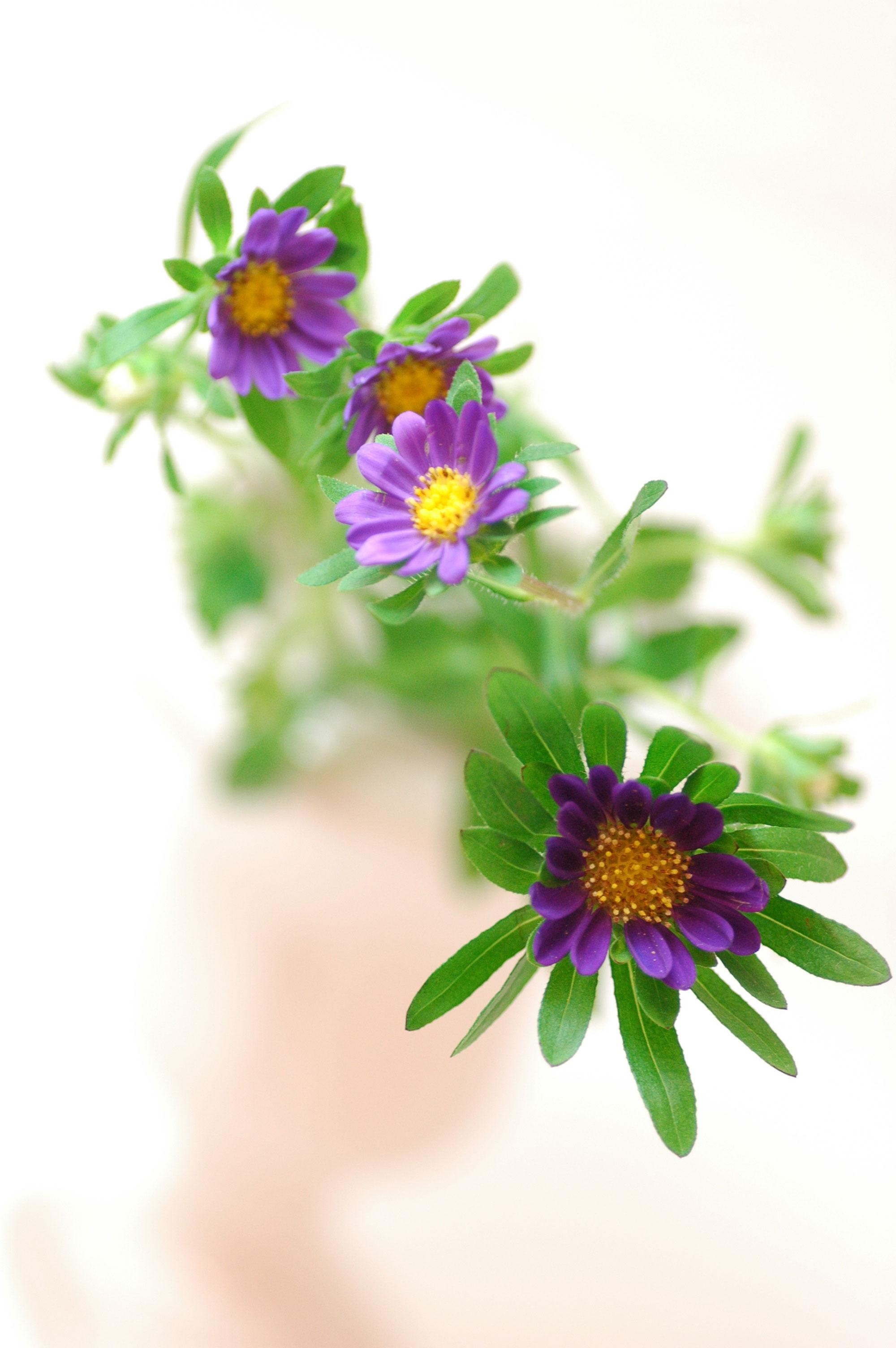 アスター ハナパープル 紫