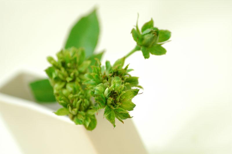 スプレーバラ グリーンアロー 緑