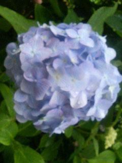 紫陽花_c0038100_15324890.jpg