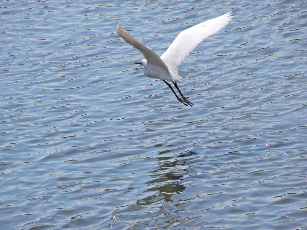 水面をゆったり飛ぶチュウサギ_e0088233_453771.jpg