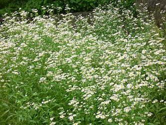 白い花 06-14_c0069048_6225655.jpg