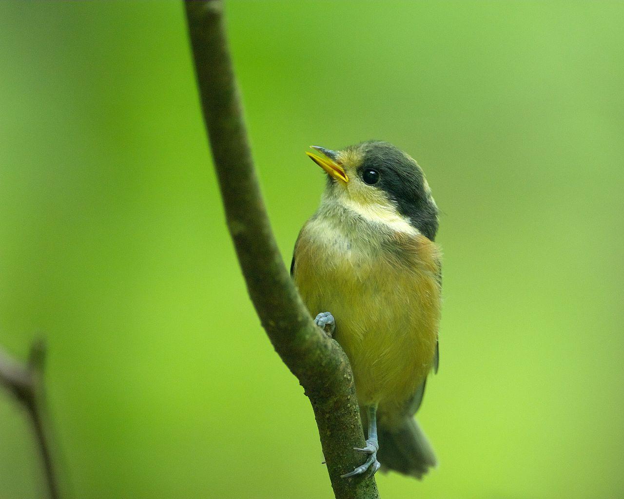 直ぐ近くまで寄ってくるヤマガラ雛ちゃん(可愛い野鳥のアップの壁紙)_f0105570_16373012.jpg